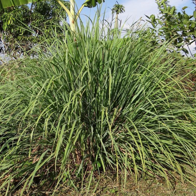 Cymbopogon flexuosus par Bishnu Sarangi de Pixabay