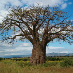 Baobab par jensfriislund de Pixabay