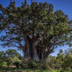 Baobab par baechi de Pixabay