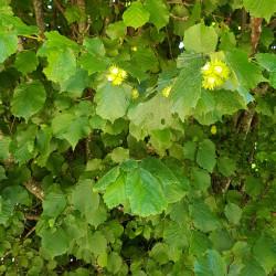 Corylus avellana Semences du Puy
