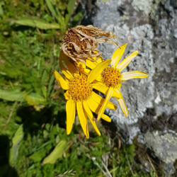 Arnica montana Semences du Puy