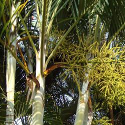 Chrysalidocarpus lutescens par Bishnu Sarangi de Pixabay