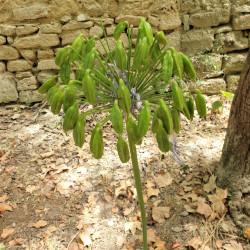Agapanthus umbellatus par Semences du Puy