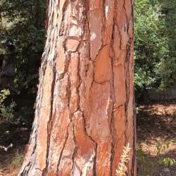 Pinus pinea par Semences du Puy