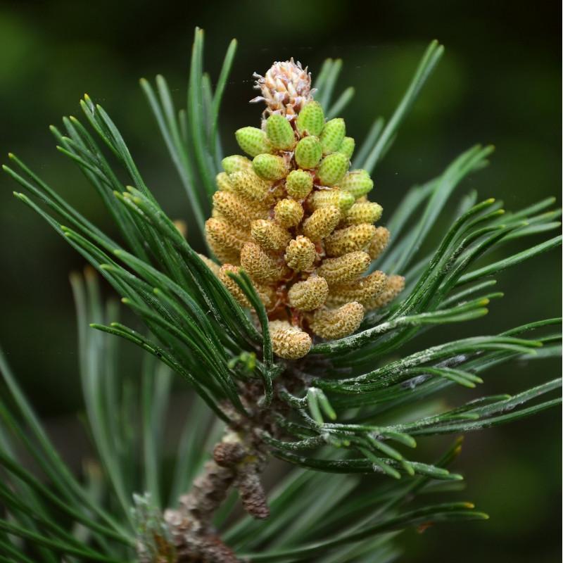 Pinus ponderosa par congerdesign de Pixabay