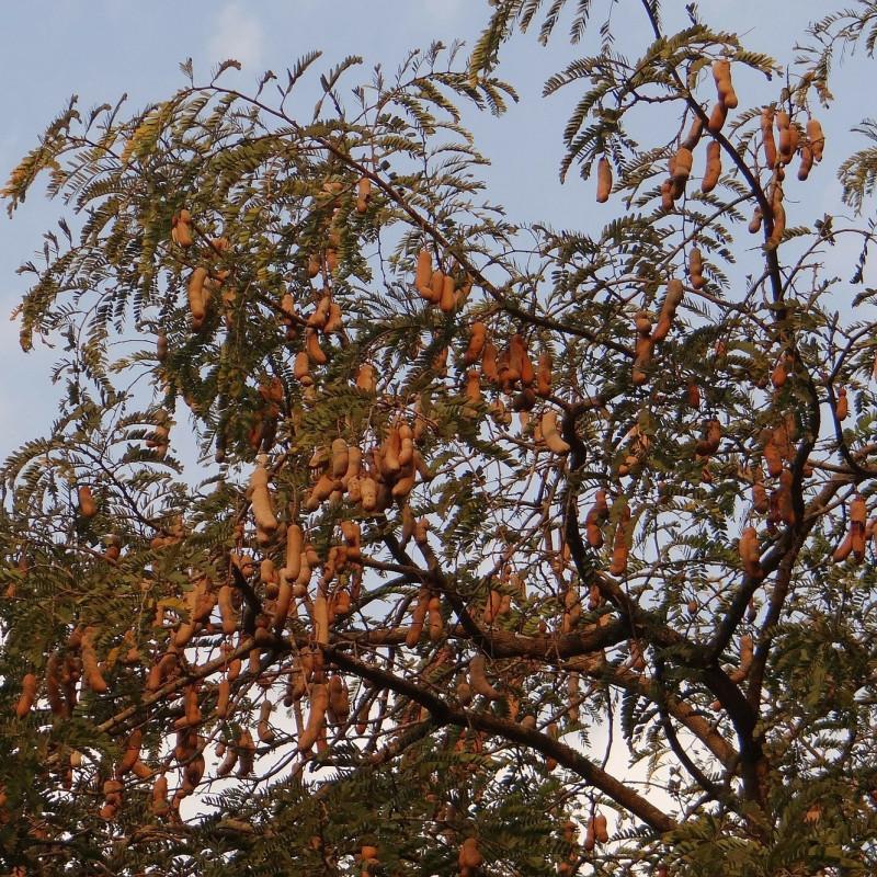 Tamarindus indica par Bishnu Sarangi de Pixabay