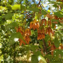 Acer monspessulanum Semences du Puy