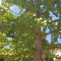 Ginkgo biloba Semences du Puy