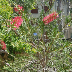 Fleurs de Callistemon rigidus Semences du Puy