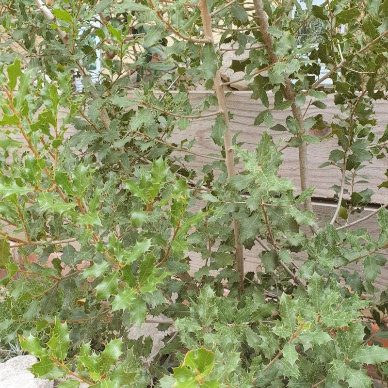 Quercus coccifera par Semences du Puy