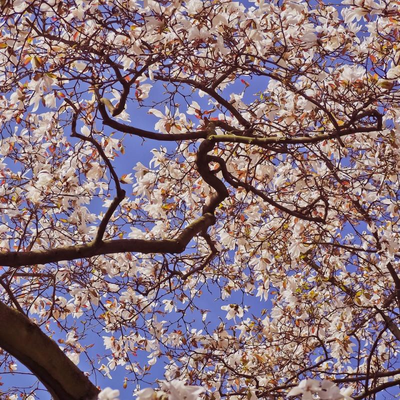 Magnolia denudata par MichaelGaida de Pixabay