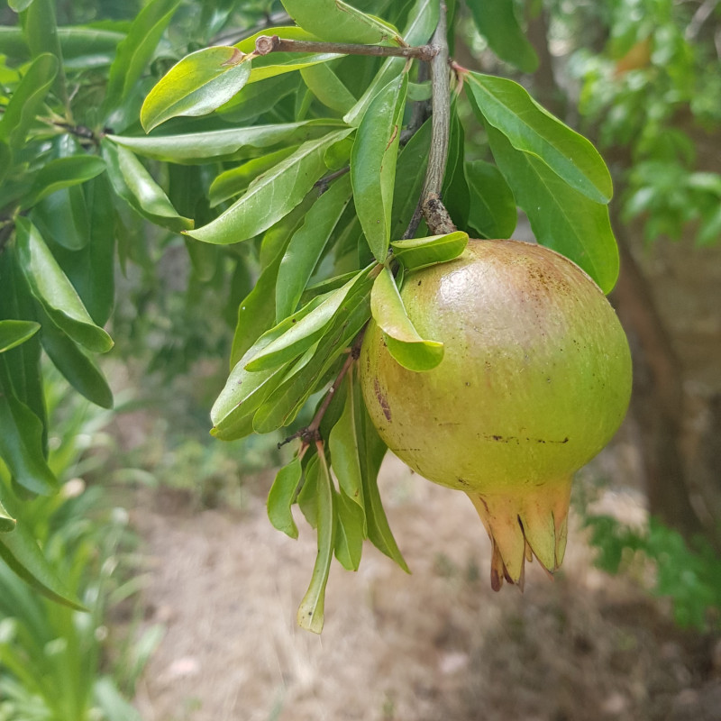 Punica granatum Semences du Puy