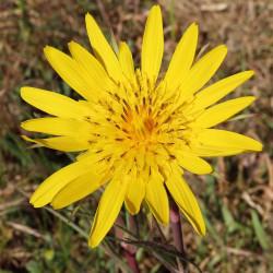 Tragopogon pratensis par Aad Kleijweg de Pixabay