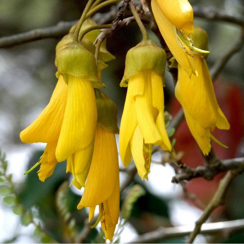Sophora microphylla par Amy K de Pixabay