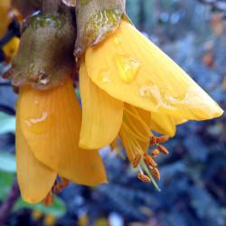 Sophora microphylla par virginie-l de Pixabay