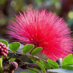 Calliandra haematocephala par Thanks for your Like • donations welcome de Pixabay