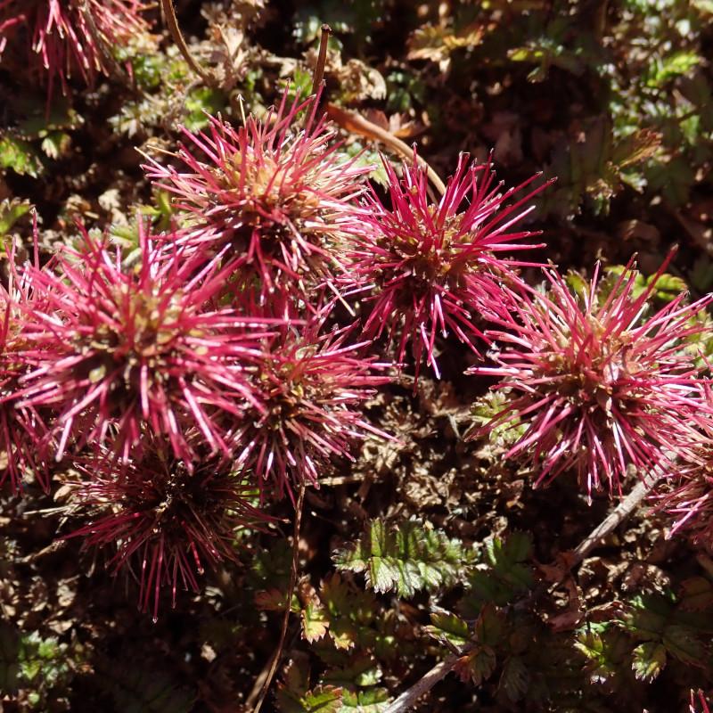 Acaena microphylla par Margaret Donald de Wikimedia commons