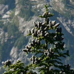 Abies lasiocarpa par Walter Siegmund de Wikimedia