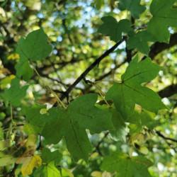 Acer campestre par Semences du Puy
