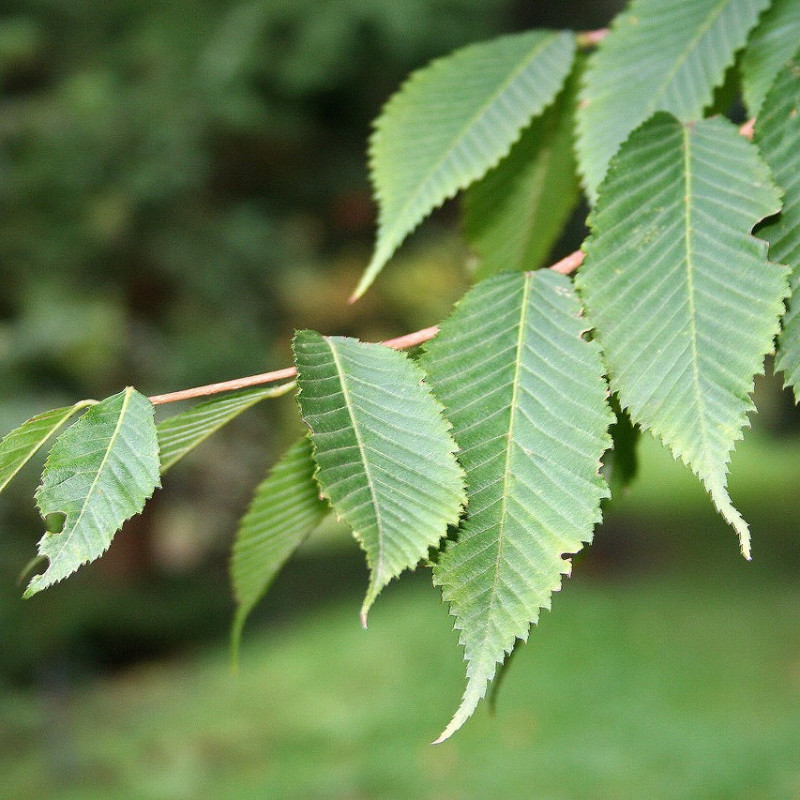 Erable à feuilles de Charme de Jean-Pol GRANDMONT, CC BY 3.0, via Wikimedia Commons