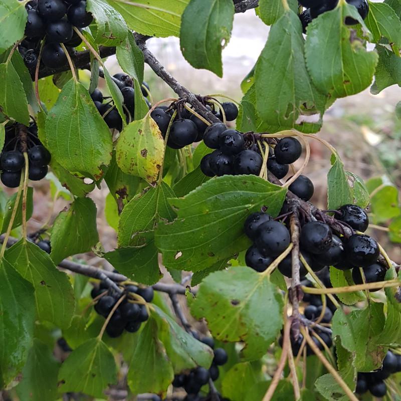 Rhamnus cathartica Semences du Puy
