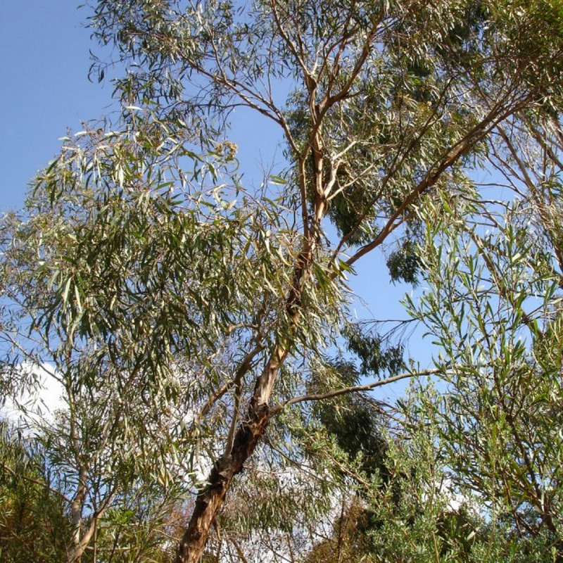 Eucalyptus polybractea par HelloMojo at English Wikipedia