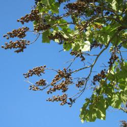 Paulownia tomentosa par WikimediaImages de Pixabay .