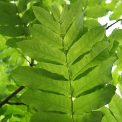 Pterocarya fraxinifolia par Hans Braxmeier de Pixabay