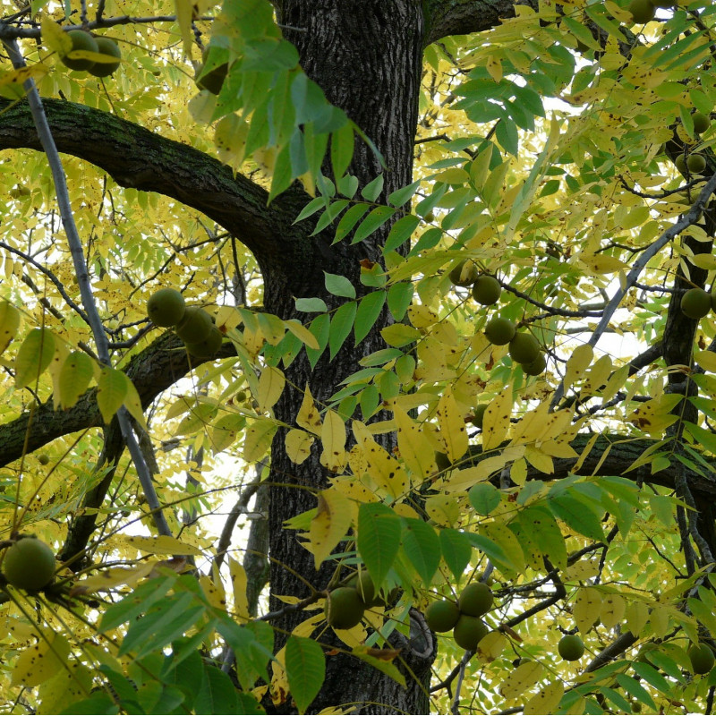 Juglans nigra par Hans Braxmeier de Pixabay