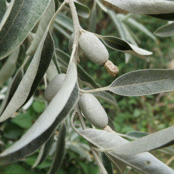 Elaeagnus angustifolia par WikimediaImages de Pixabay
