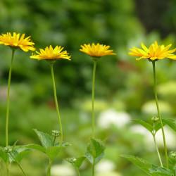 Silphium perfoliatum par Fran Dekkers de Pixabay