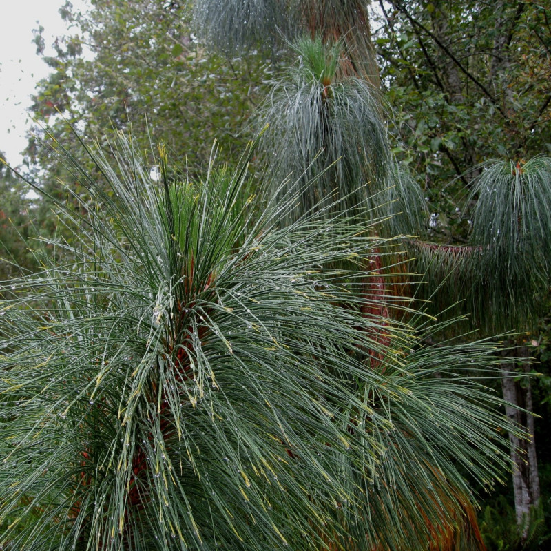 Pinus yunnanensis de brewbooks from near Seattle, USA, CC BY-SA 2.0, via Wikimedia Commons