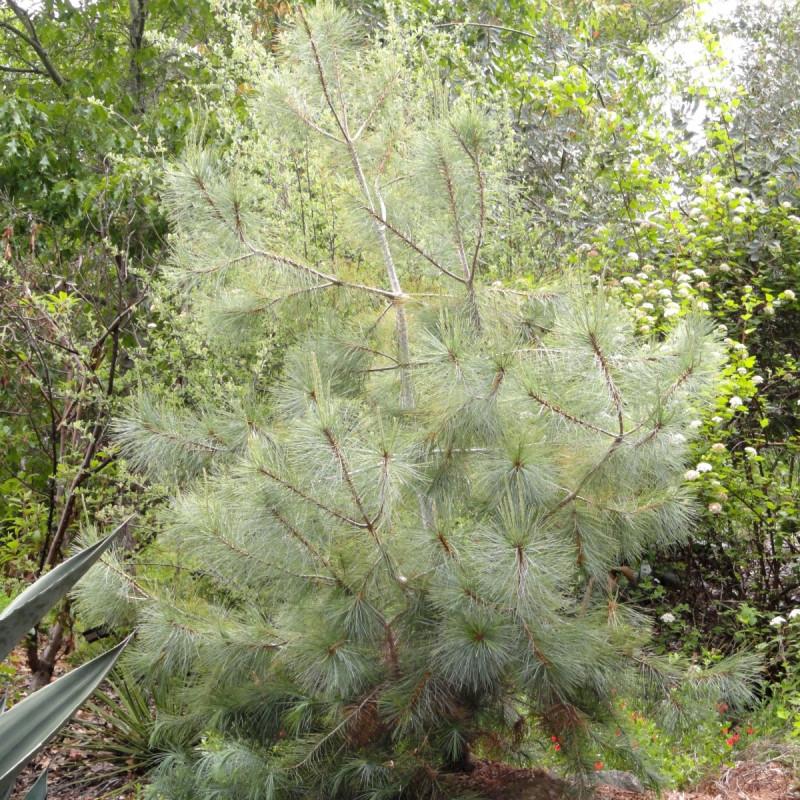 Pinus maximartinezii de Daderot, Public domain, via Wikimedia Commons