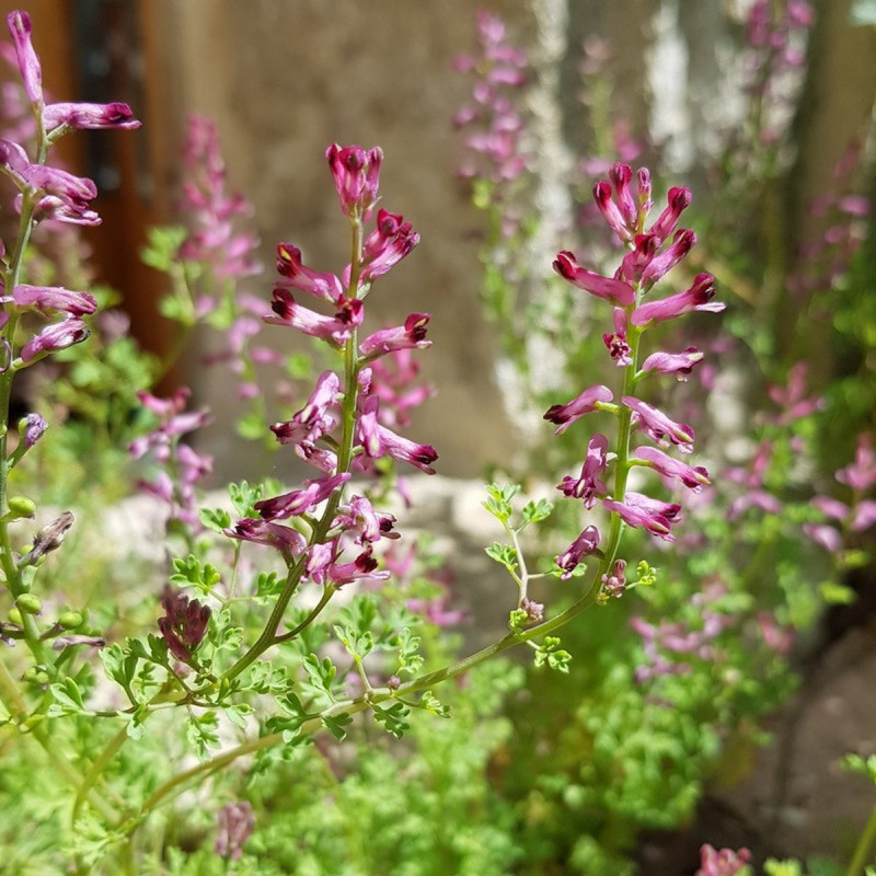 Fumaria officinalis Semences du Puy