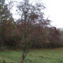Crataegus monogyna Semences du Puy