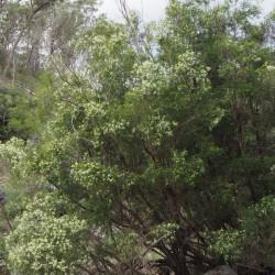 Melaleuca bracteata par Geoff Derrin de Wikimedia commons..