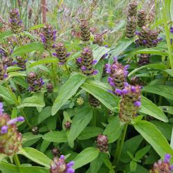 Prunella vulgaris - Semences du Puy