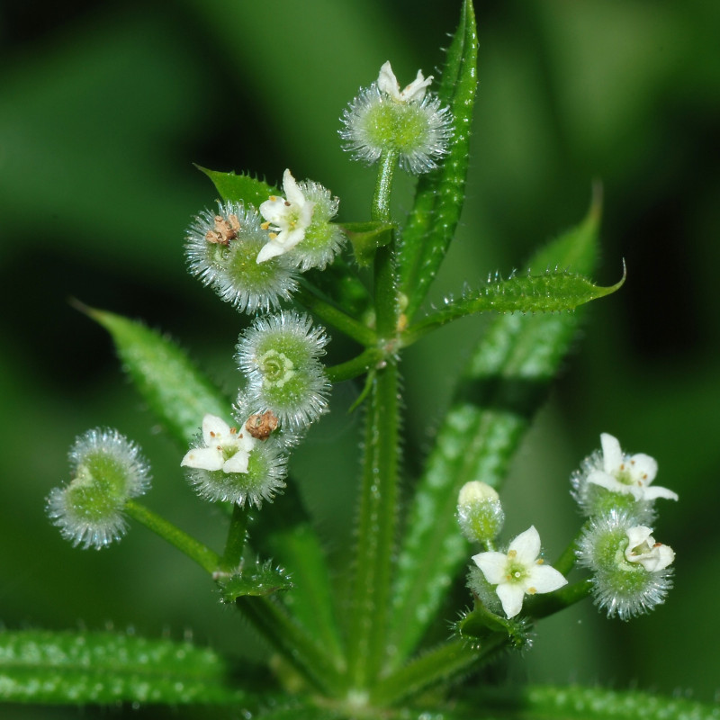 Galium aparine de Alvesgaspar, CC BY-SA 3.0 via Wikimedia Commons