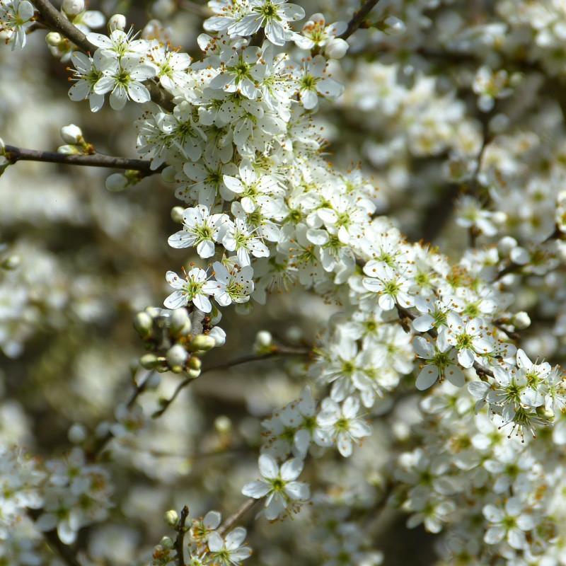 Prunus spinosa par LoggaWiggler de Pixabay