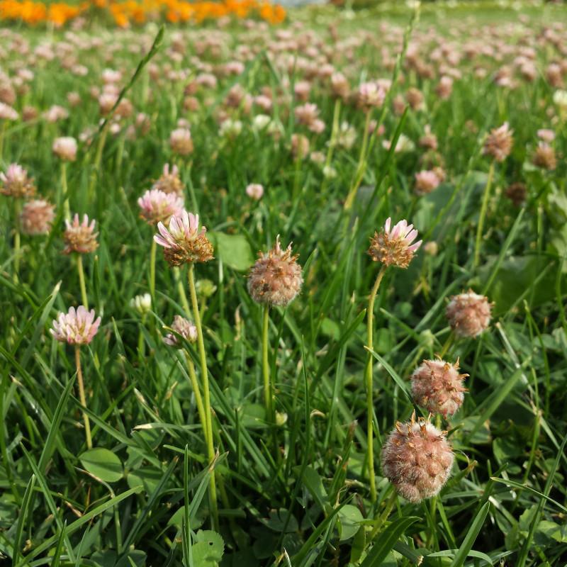 Trifolium fragiferum de Stefan.lefnaer, CC BY-SA 4.0, via Wikimedia Commons