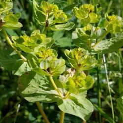 Euphorbia helioscopia - Semences du Puy