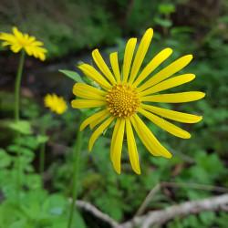 Doronicum pardalianches - Semences du Puy