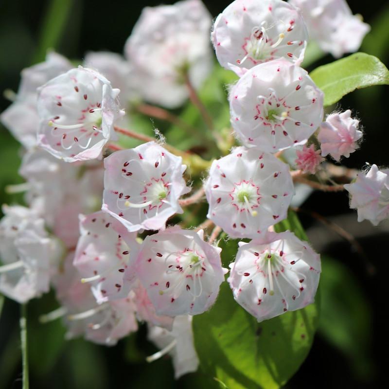 Kalmia latifolia par Annette Meyer de Pixabay