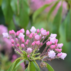 Kalmia latifolia par Nadine Trief de Pixabay