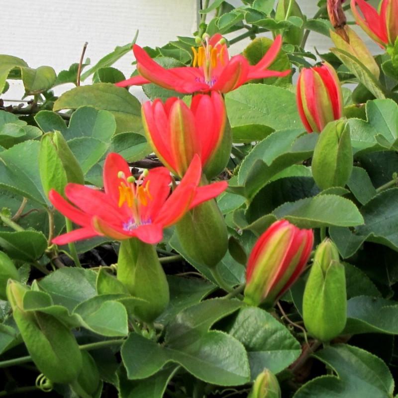 Passiflora manicata par KM de New York de Wikimedia commons