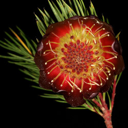 Protea nana par Plantes de Wikimedia commons