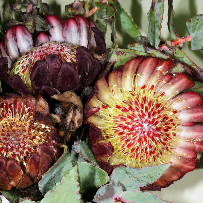 Protea amplexicaulis par Plantes de Wikimedia commons
