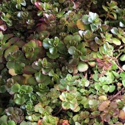 Sedum spurium par Semences du Puy