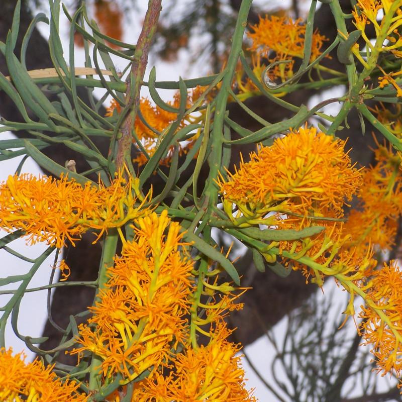 Nuytsia floribunda par Gnangarra Wikimedia