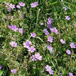Geranium pyrenaicum - Semences du Puy
